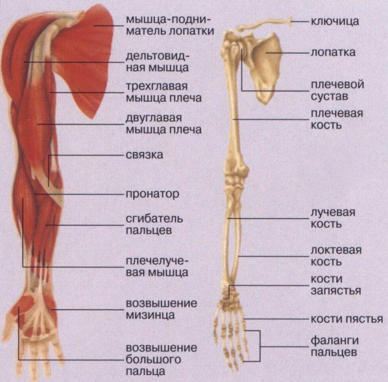 строение руки схема